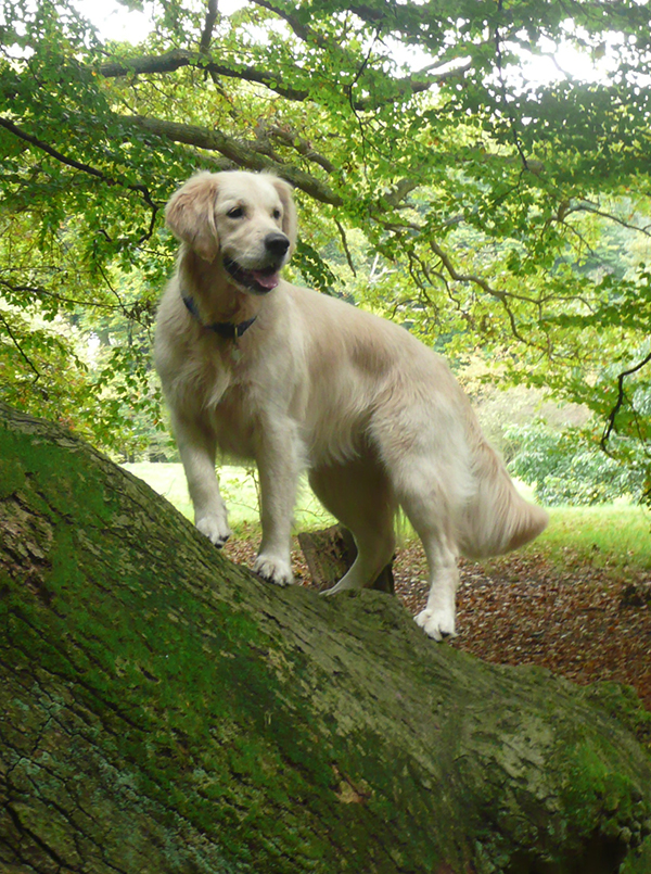 Golden retriever in a wood